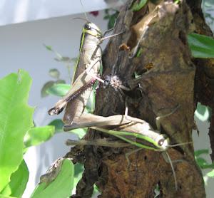 Locust mating