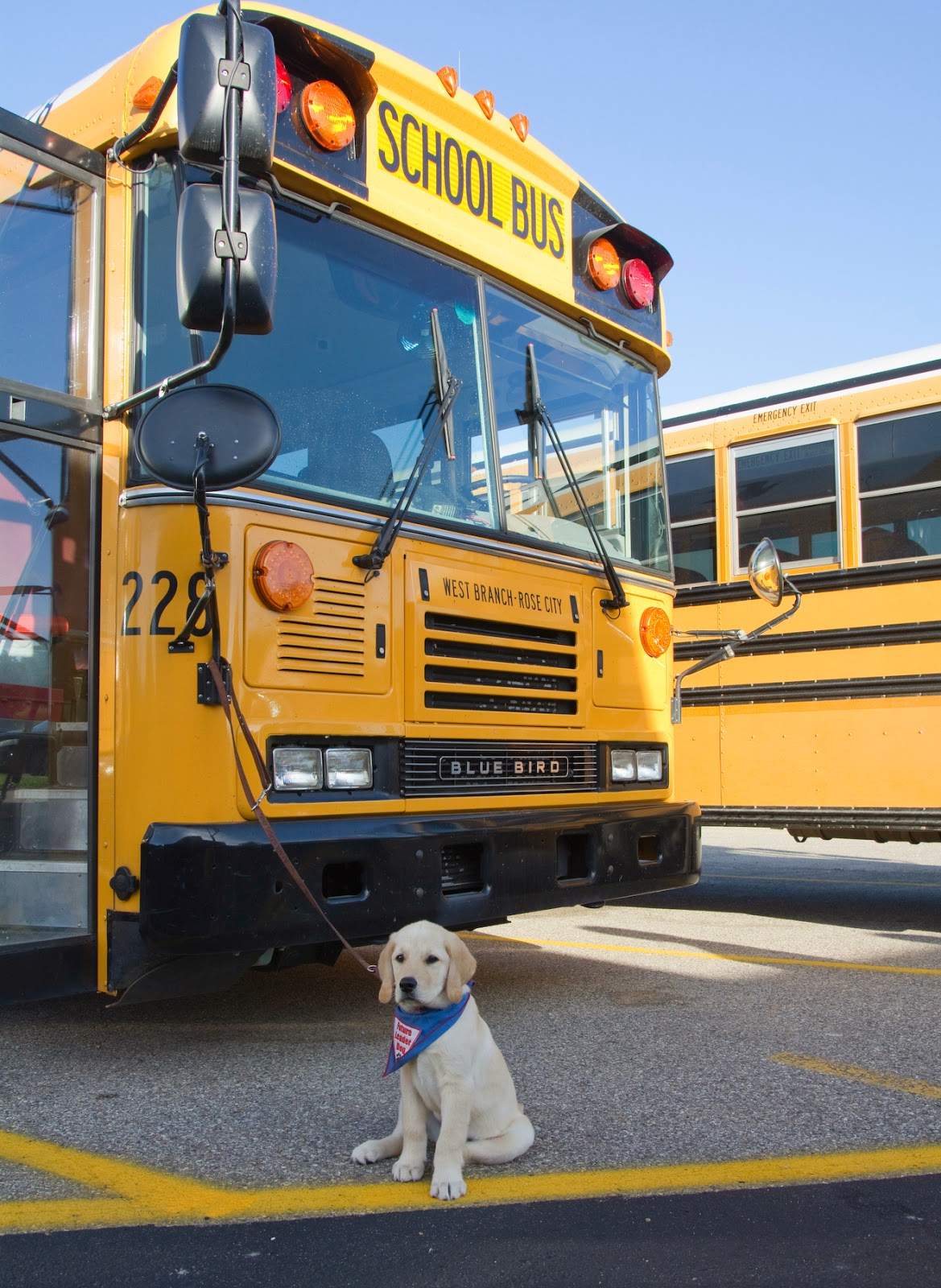 A small yellow golden retriever/lab mix puppy is sitting down in front of a large yellow school bus. His leash is attached to the bus's mirror strut. The puppy is looking at the camera and wearing the blue Future Leader Dog bandana. He is sitting lite a puppy with his back legs all askew.