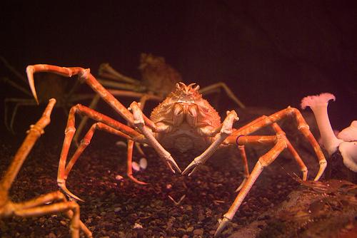 Spider crab - photo#10