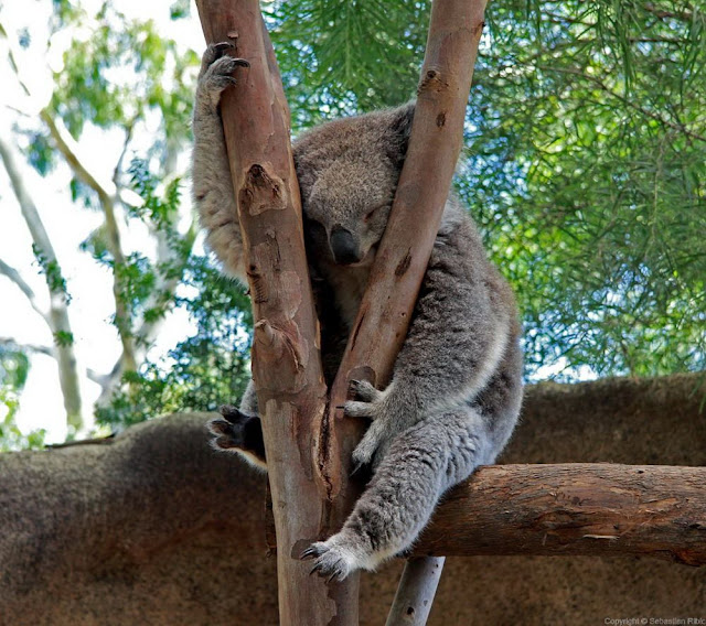 funny animals, animal pictures, koala sleeping in a tree