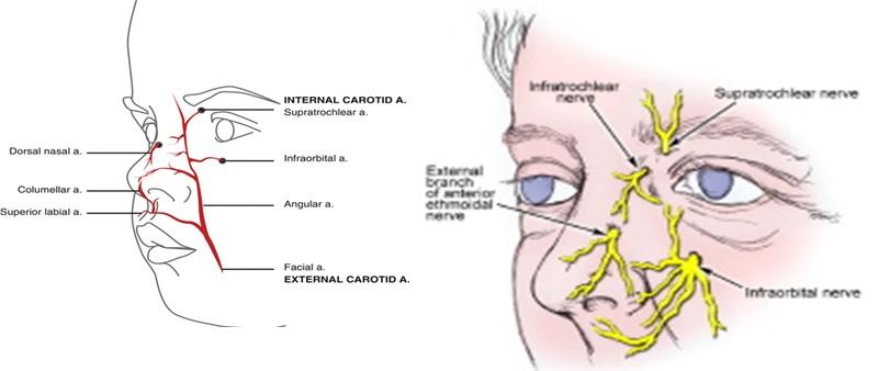 Anatomi Hidung Dan Fungsinya