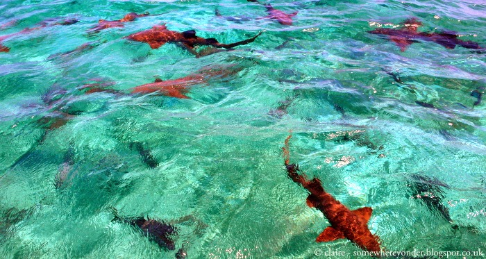 nurse sharks - right before we jumped in! - Caye Caulker, Belize