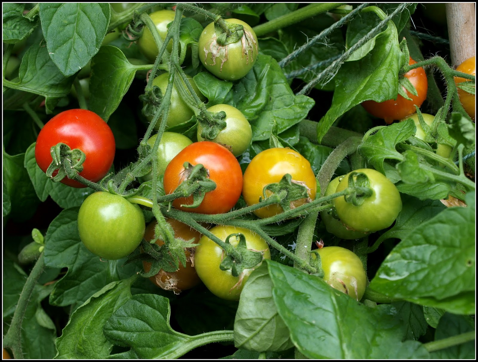 how to stop tomatoes rippening