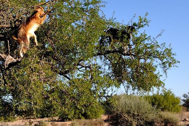 Na pochyłe drzewo każda koza skacze, ale...  nie każda włazi na jego czubek - Maroko część piąta