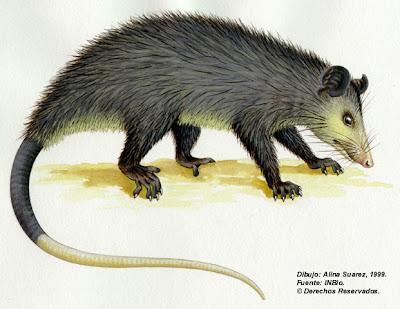 zorro pelon Didelphis marsupialis