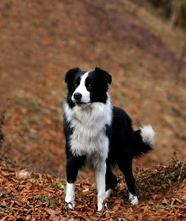 border collie images puppies
