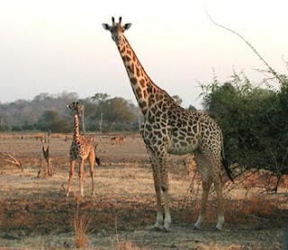 Why the giraffe's neck is long.