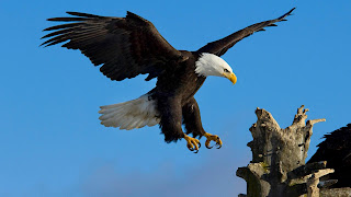 bald eagle wallpapers 2013