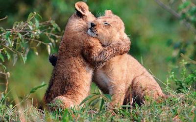 Dos leones pequeños dándose un abrazo - Amor salvaje