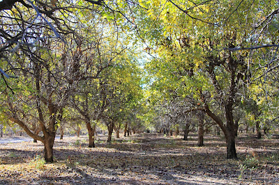 Jujube Trees Near Mammoth Wash