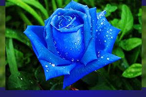mawar_biru_10802