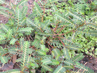 Meniran ( Phyllanthusurinaria Linn )