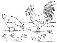Gambar Keluarga Ayam Sedang Mencari Makan