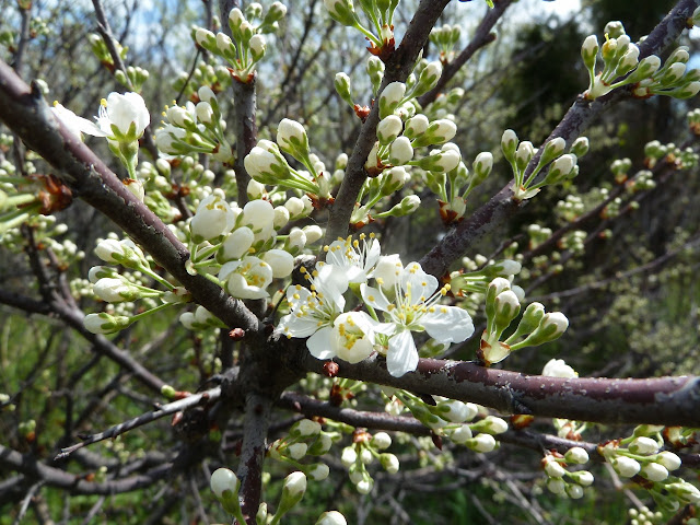 Wild Beach plum starting to flower