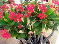 nama latin gambar kandungan kegunaan manfaat khasiat Bunga Euphorbia Milii