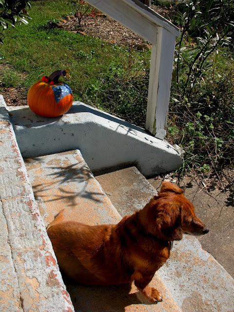 dachshund with pumpkin