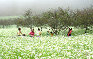 white blumea flowers in Moc Chau1