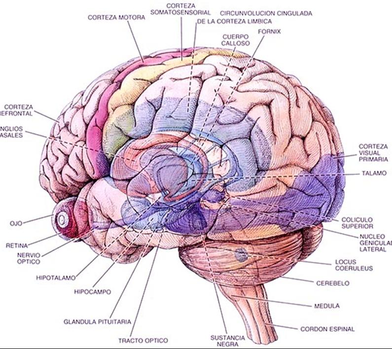 Único Sencilla La Anatomía Del Cerebro Bosquejo - Anatomía de Las ...