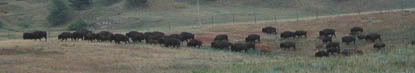 Bison herd in Custer State Park