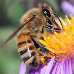 abelha//mbuingina