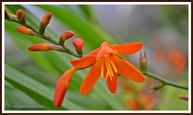 Flowers, story, Small buds, bud, orange flower