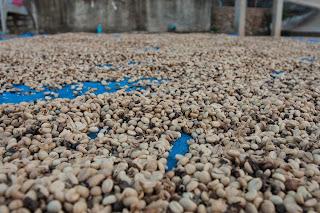 Kaffeebohnen werden an der Sonne getrocknet
