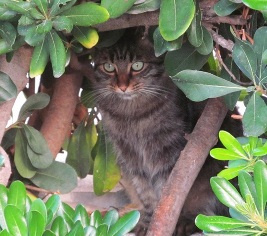 Cat of Ischia Italy