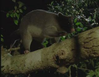 Blog Safari club, video de el Oposum de cola plumosa