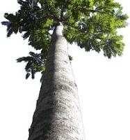 foto de árbol de teca