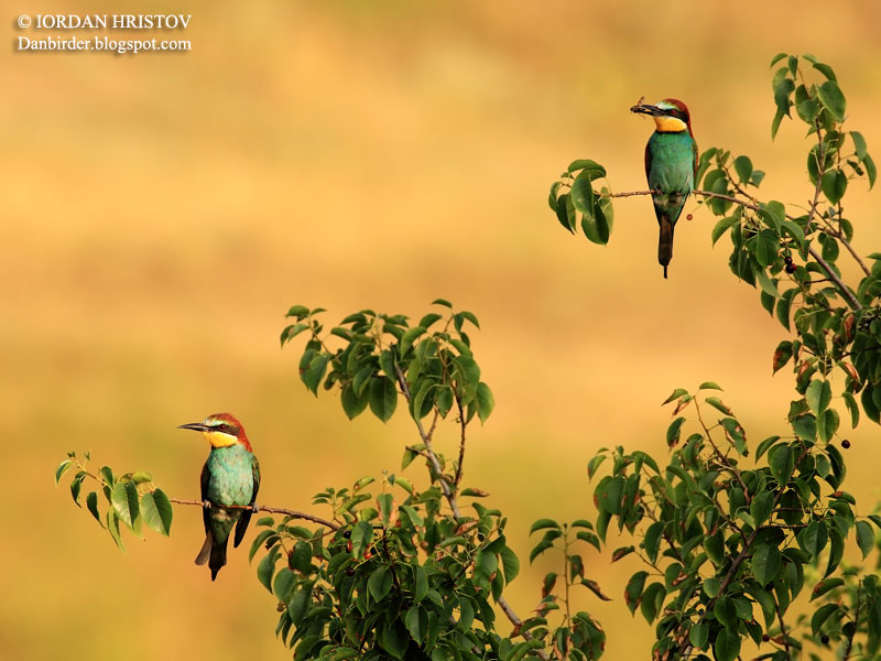 Bee-eater photography