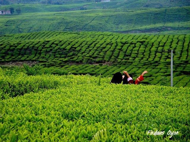 bermain di kebun teh