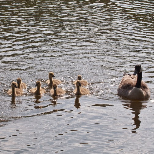 Canada geese and goslings on water