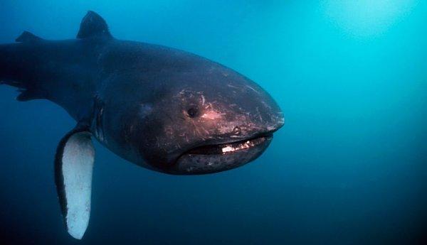 Tiburón de boca ancha