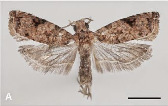 http://sciencythoughts.blogspot.co.uk/2013/09/two-new-species-of-tortrix-moths-from.html