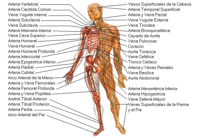 El cuerpo humano for Medidas ergonomicas del cuerpo humano