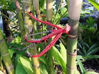 竹のようなヤシ科の「ピナンガ クーリー」はジャワ・スマトラの原産という。