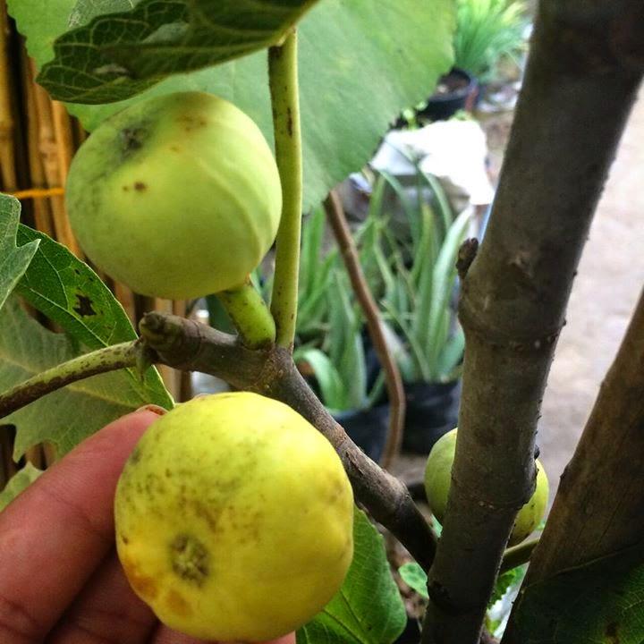 figs lebanese cafe