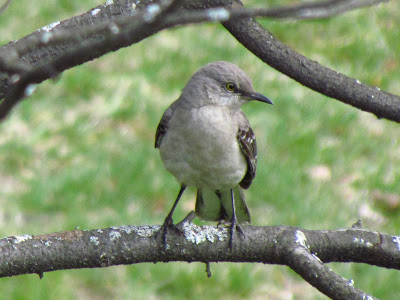 northern mockingbird another view