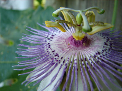 Incense Passionflower, Passionvine - Butterfly Plants - Almost Eden