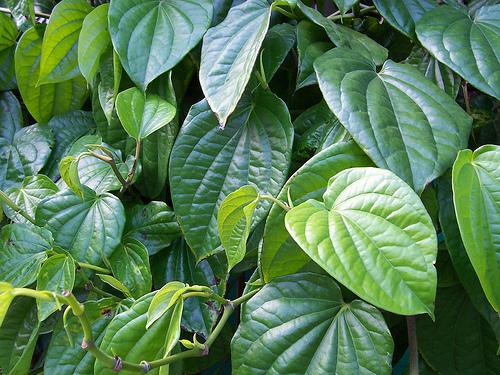 Obat Tradisional daun sirih