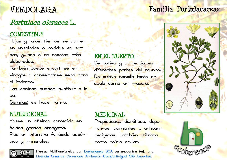 Ecoherencia: Plantas multifuncionales (IV): La Verdolaga