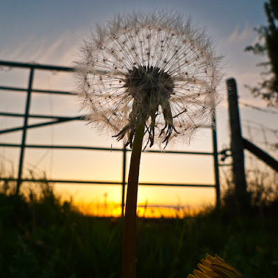 Sunset Dandelion, 2010 © Graham Dew
