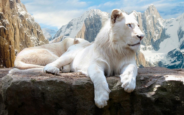 Wallpaper download lion - Lion King Wallpapers