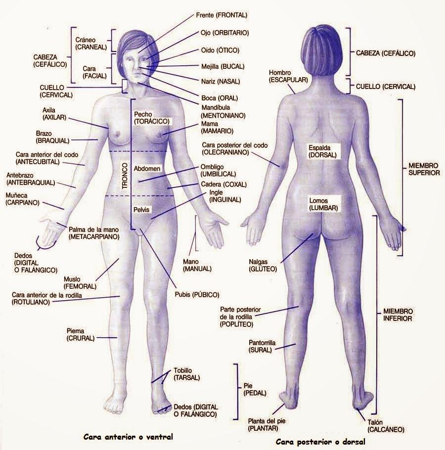 Biología Humana: Posición anatómica del cuerpo humano
