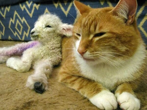 Funny animals of the week - 9 May 2014 (40 pics), cute animals, animal photos, baby lamb sits with cat