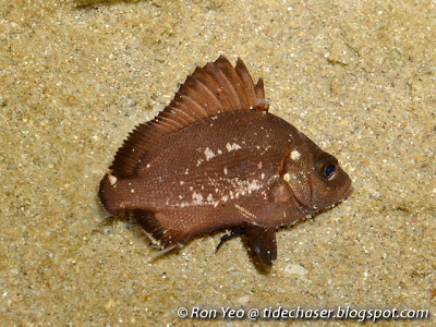 Brown Sweetlips (Plectorhinchus gibbosus)