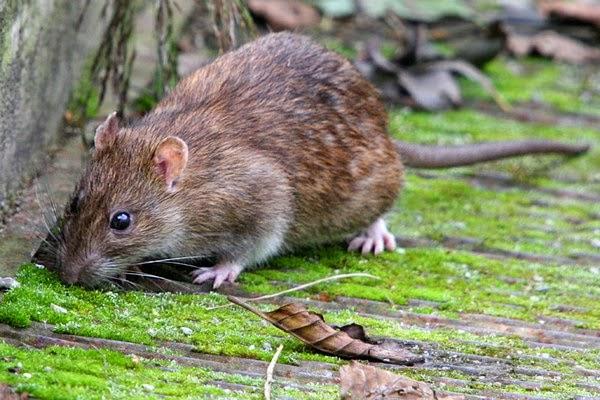 Populasi tikus meningkat naik tinggi di Singapura