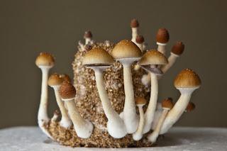 coltivazione funghi allucinogeni