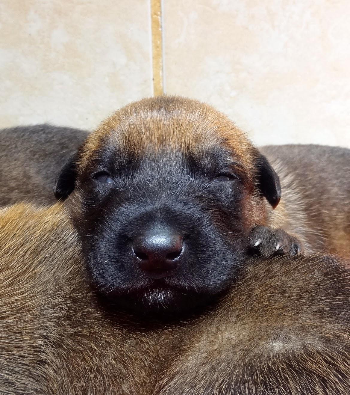 Cachorros - Puppies - Welpen