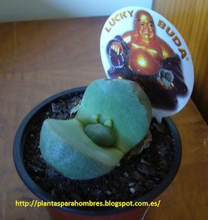 cactus lucky buda